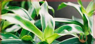 Cách trồng cây lược vàng và tác dụng của cây