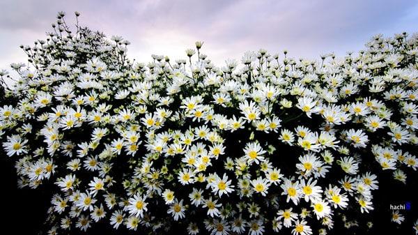 hoa cu