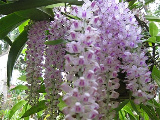 hoa phong lan truyen thuyet va y nghia 2