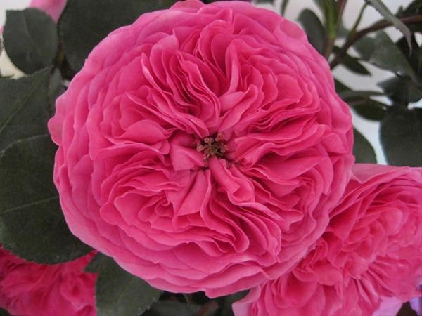 hoa hong Baronesse rose 1a