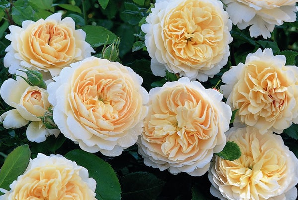 hoa hong Crocus rose 1a