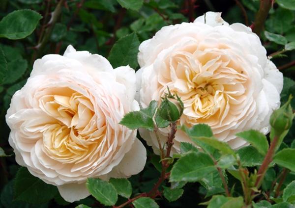 hoa hong Crocus rose 2a