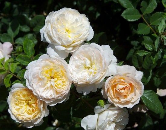 hoa hong Crocus rose 6a