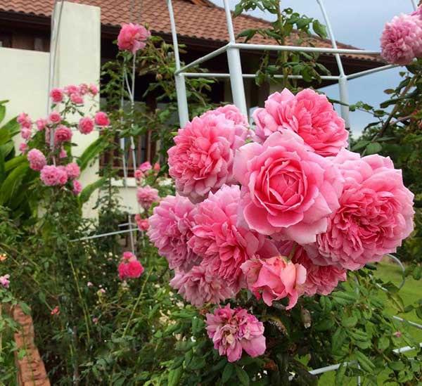 Hoa hồng leo Huntington Rose  nở tưng chùm đẹp