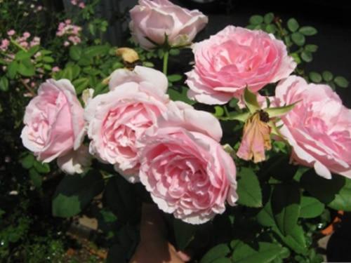 Hoa hồng Eckart Witzigmann