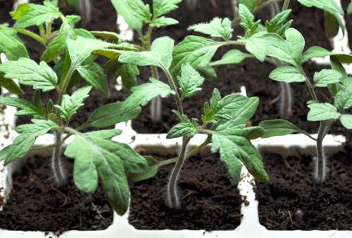 gieo hạt cây cà chua