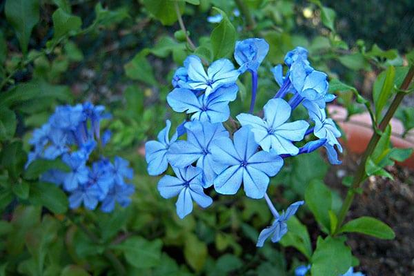 những bông hoa thanh xà