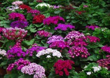 Kỹ thuật trồng cây hoa Cúc lá nho trong chậu đẹp mê mẩn