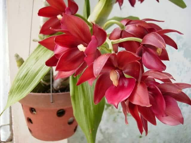 cách chăm sóc hoa lan thiên nga