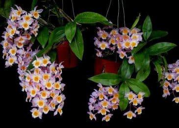 hoa phong lan hoàng thảo thủy tiên