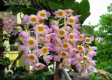 mùa ra hoa của lan thủy tiên