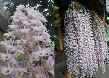 lan hạc vỹ trước và sau khi nở hoa