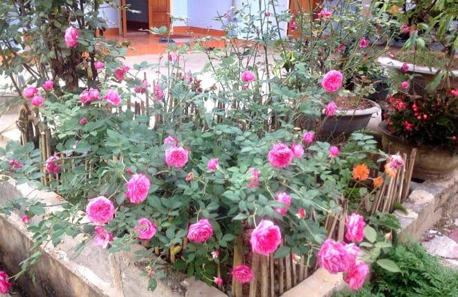 cách cắt tỉa hoa hồng cổ sapa