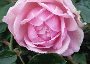 hoa hồng điều cổ khoe sắc
