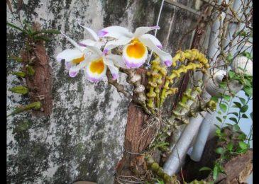 cây lan trúc phật bà ra hoa