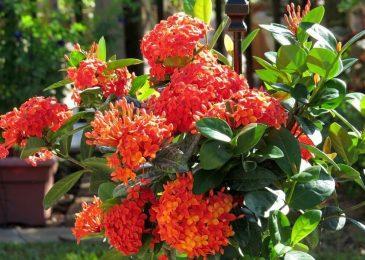 những cây hoa mẫu đơn đỏ