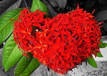 hoa mẫu đơn đỏ điểm nhấn cho ngôi nhà của bạn
