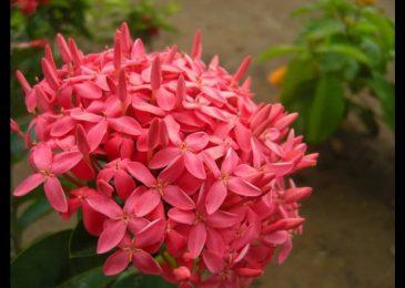 hoa mau don do 8