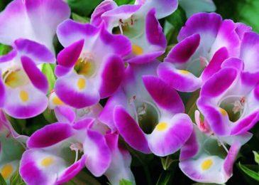 những bông hoa mõm chó đẹp cuốn hút