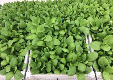 Cách trộn đất trồng rau trong thùng xốp- tăng dinh dưỡng cho đất