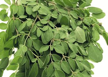 lá cây chùm ngây có tác dụng gì