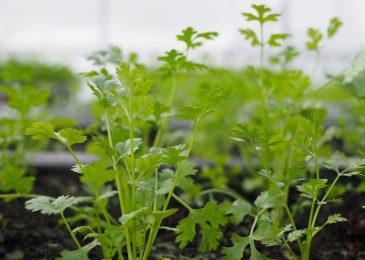 Cách trồng rau mùi