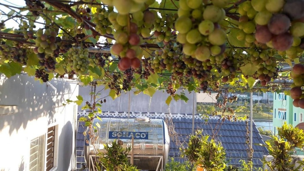 giàn nho trĩu quả trên sân thượng