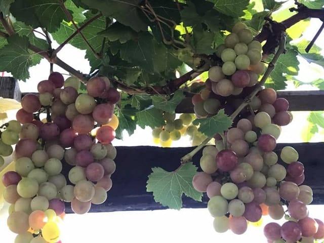 những trái nho chín trên sân thượng