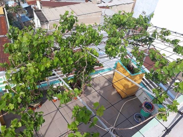 cận cảnh giàn nho phát triển trên sân thượng