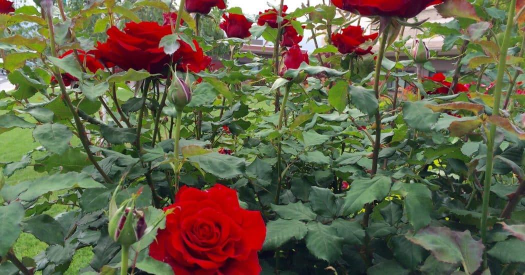 cây hoa hồng đà lạt phát triển