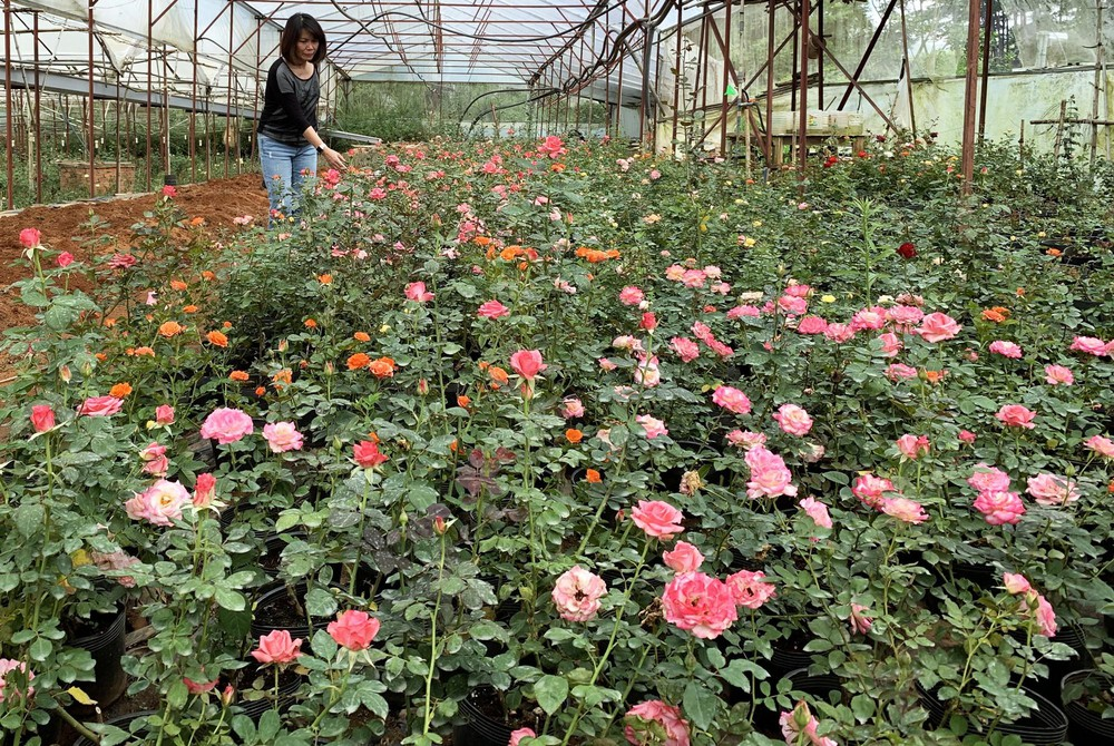 khu vườn hồng đà lạt giống