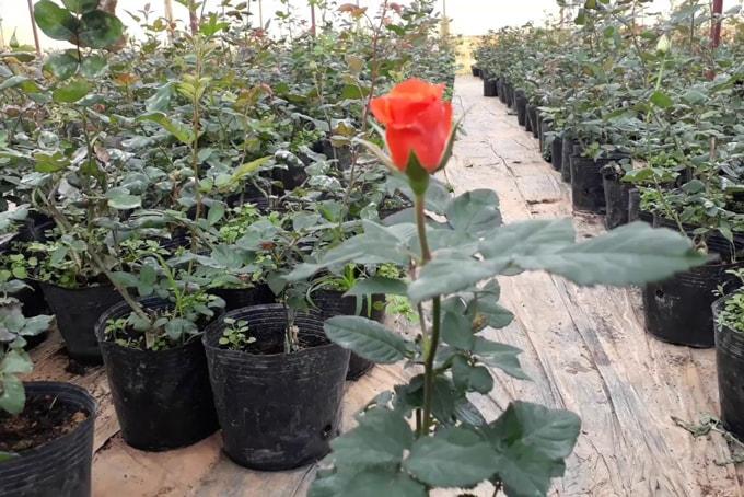 những chậu cây hoa hồng giống phát triển