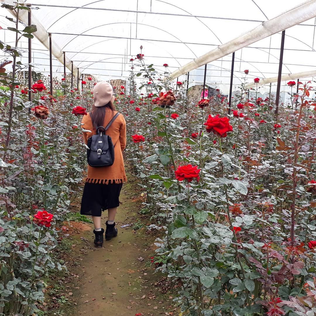 hướng dẫn trồng hoa hồng đà lạt