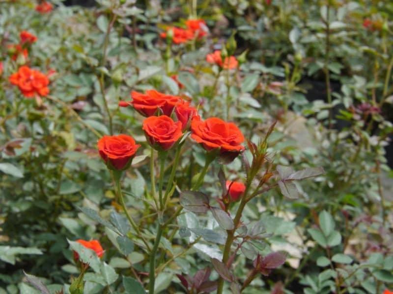 hoa hồng đà lạt tại hà nội
