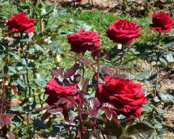 hoa hồng đà lạt có mấy loại