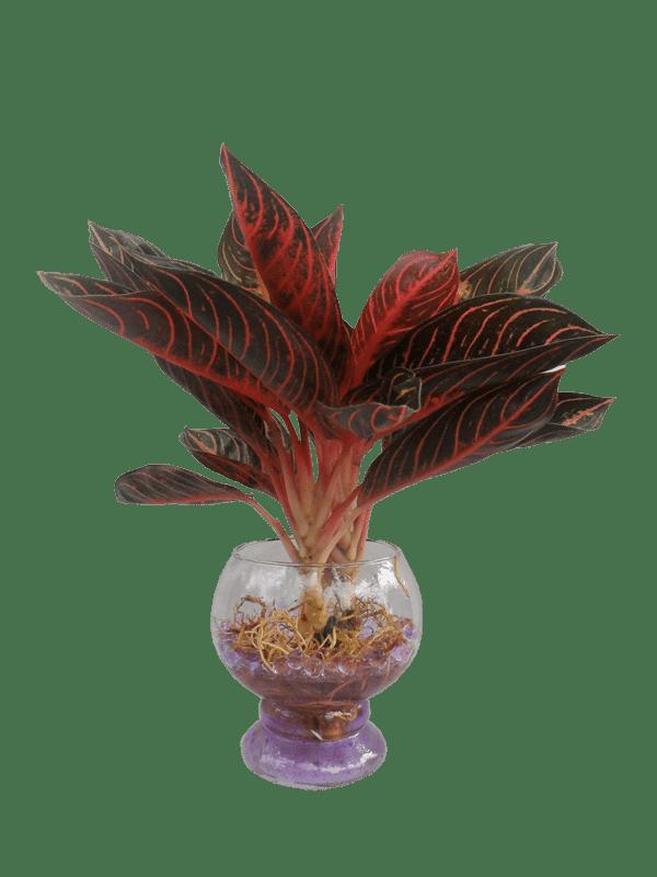 sự phát triển của cây bao thanh thiên thủy sinh