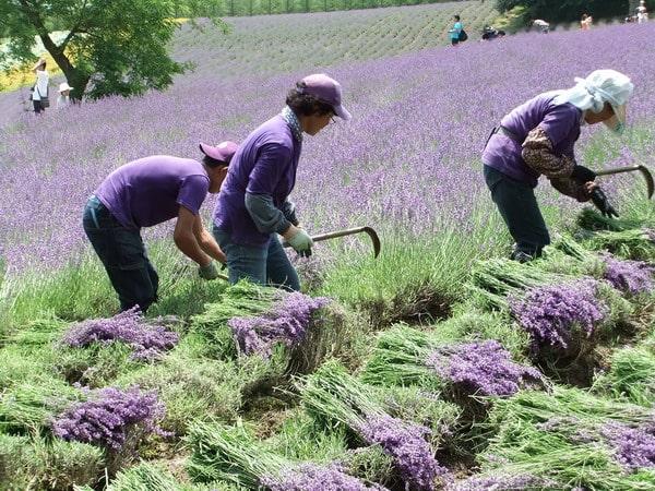 thu hoạch hoa oải hương lavender