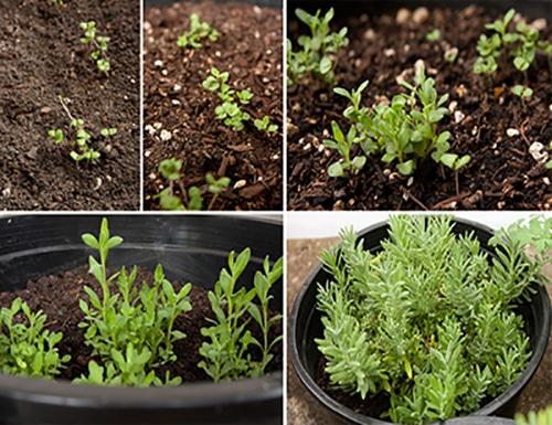 cây lavender lúc mới mọc mầm