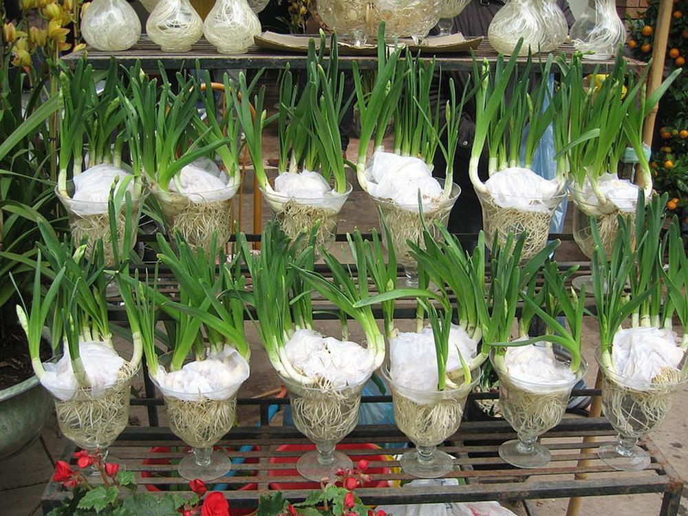 Cách trồng hoa thủy tiên