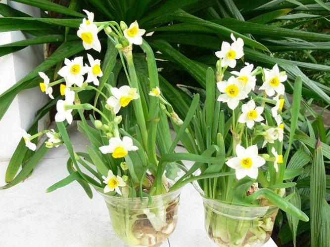 Cách trồng hoa thủy tiên vào trong chậu