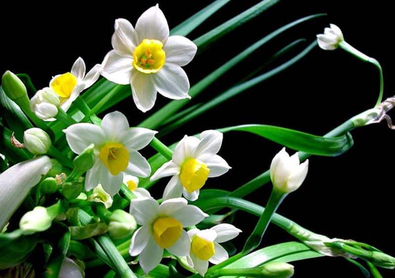 Chọn củ hoa thủy tiên