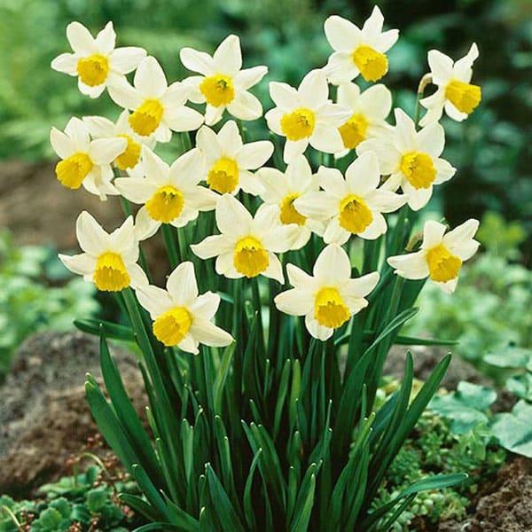 Chọn củ hoa thủy tiên với vẻ đẹp