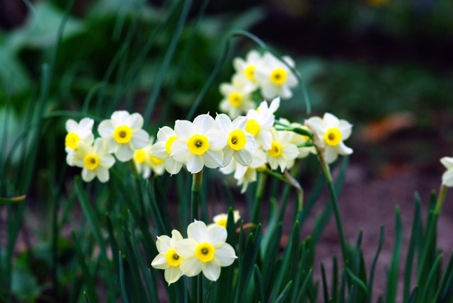 Kỹ thuật trồng và chăm sóc hoa thủy tiên đẹp