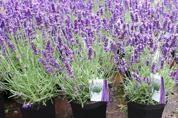 Ý nghĩa của hoa oải hương Lavender trong tình yêu