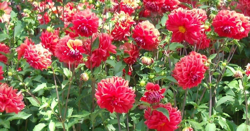 hoa thược dược khoe sắc đỏ trong khu vườn