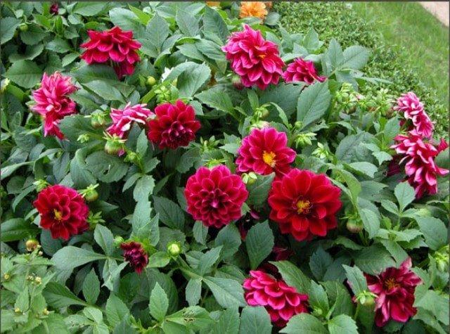 hoa thược dược thi nhau nở rộ trong vườn