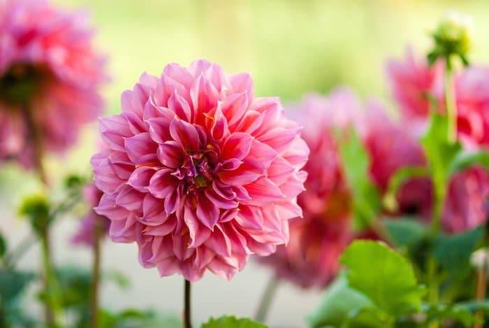 bông hoa thược dược đứng một mình
