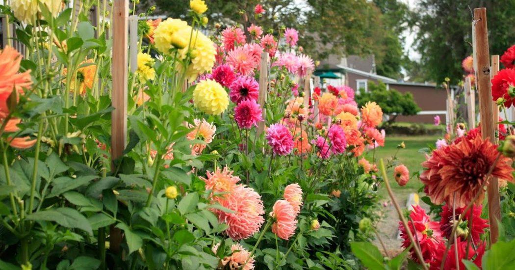 hoa thược trong khu vườn xinh đep của chúng ta