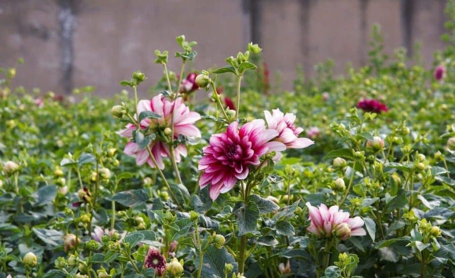 vẻ đẹp của những bông hoa thược dược