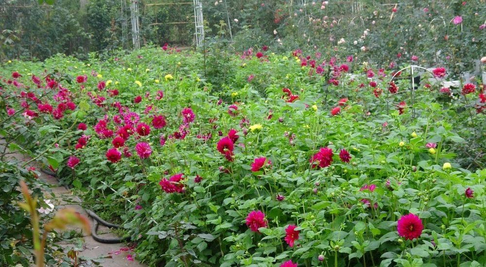 khu vườn hoa thược dược ngập tràn hoa